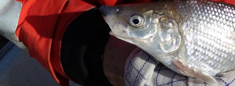 Laksefisken snæbel lever kun i Danmark.<br />Foto: Miljøstyrelsen