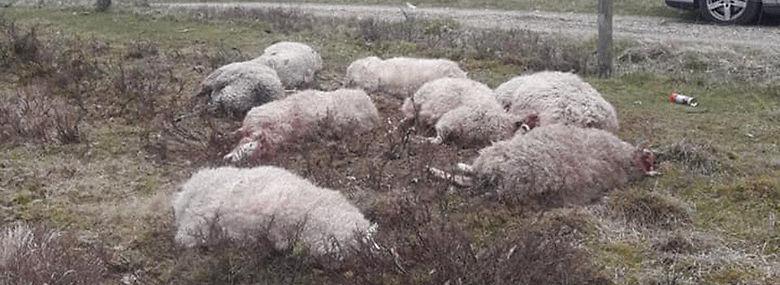 16 får blev fundet døde og ti andre skambidte på en mark hos virksomheden Storålam i Idom ved Holstebro i april. Nu fastslår dna-undersøgelser, at fårene blev dræbt af ulve.<br />Foto: Peter Helén, Ritzau Scanpix