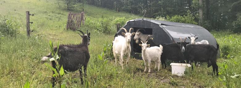 19 geder af racen Dansk Landraceged skal være med til at sikre attraktiv natur på det område af Skamlingsbanken, hvor der tidligere har været dyrket pyntegrønt.
