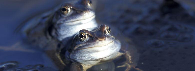 To spidssnudede frøer.<br />Foto: Lars Gejl, Ritzau Scanpix