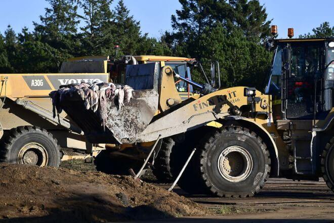 Aflivede mink hældes i grave tæt på drikkevandsområde