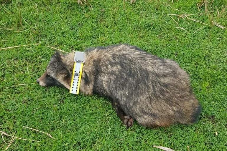 Mårhunde med GPS sættes ind mod artsfæller på Fyn