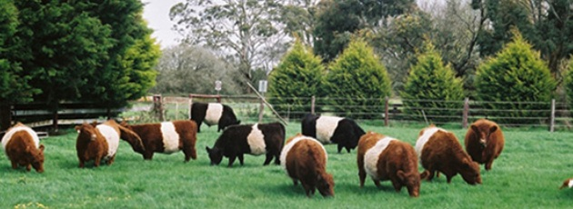 Kvæg som kommunens græsslåmaskine